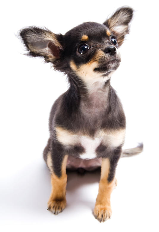 Reasons Why Chihuahuas Are The Best Dogs