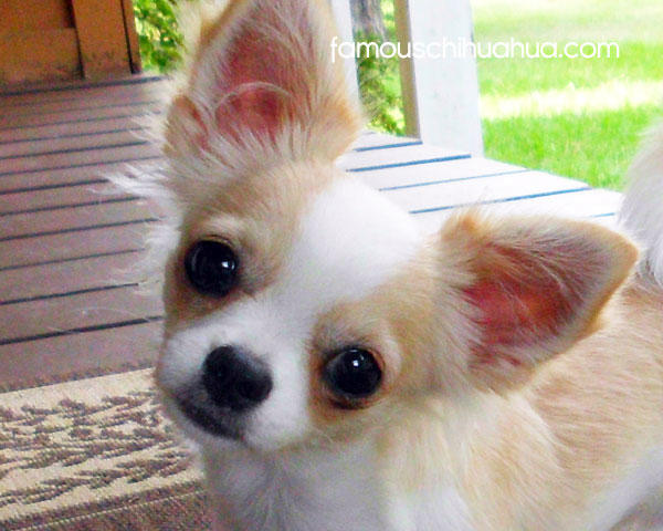 Why Chihuahuas Are The Best Dog Breed!