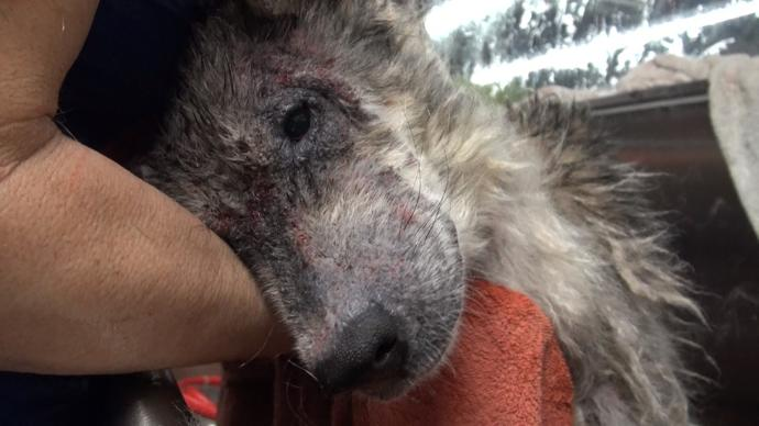 """A Sick, Starving """"Wolf Dog"""" on the Streets Undergoes an Amazing Transformation"""