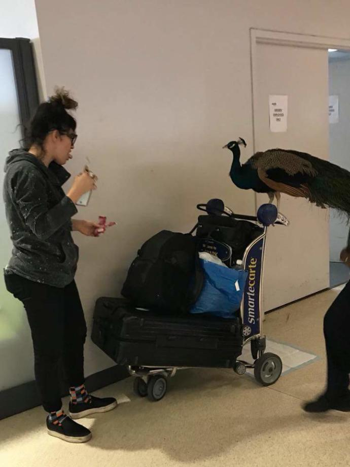 That Moment When You Need an Emotional Support Peacock In Order to Fly...