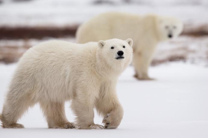 The polar bear is considered a national mammal