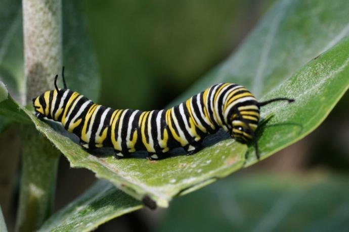 Caterpillar fur