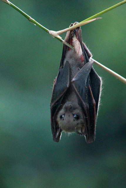 Bat Meat