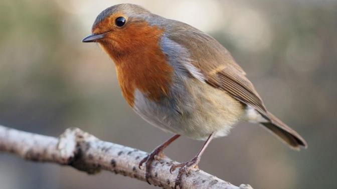 10 Facts About Robins