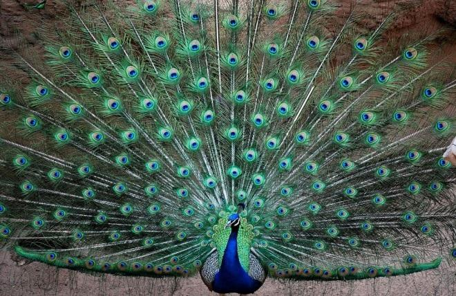 🦚🦚🦚 7 Facts About Peacocks 🦚🦚🦚