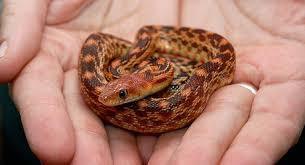 Pet Snakes FAQs