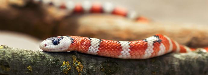 Pet snakes