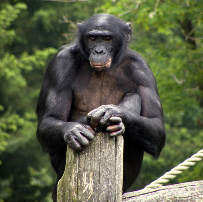 What if we could be more like bonobos, instead of chimpanzees?