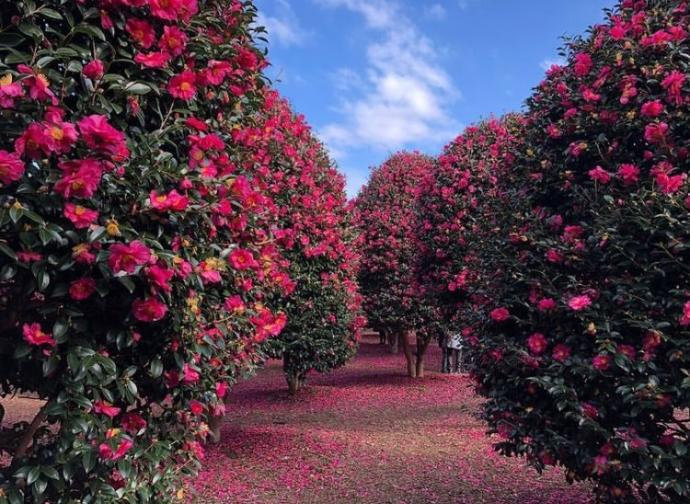 Camellia Hill, also very pretty during the winter.