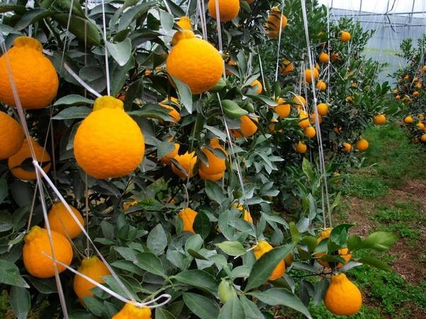 Jeju is famed for its Hallabong, a variety of mandarin orange.