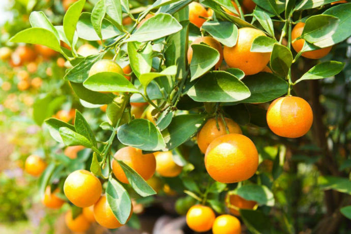 Getting Vitamin C is just one of many benefits from the citrusy fruits.