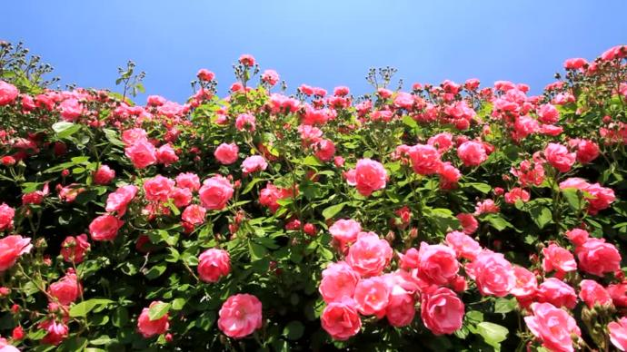Roses- potent, very recognizable floral.