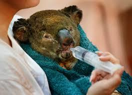Koala among many affected by the fire (s)