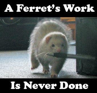 Ferrets and why I love them