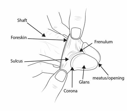 The frenulum on an intact penis helps hold the foreskin over the glans when flaccid