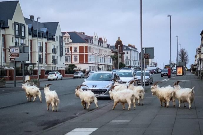 Once the home of Alice in wonderland Llandudno is now home to goats.
