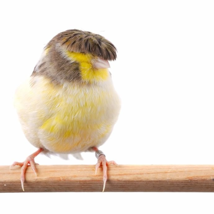 Gloster Canary. What a cutie