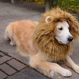 If I shave my golden retriever like a lion, will the other dogs respect him more?