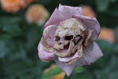 Which flower do you associate with death?