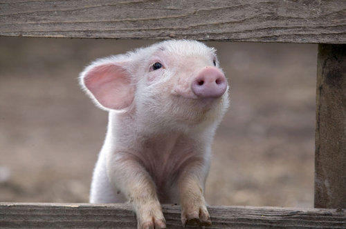 Whenever you see a cute pig?
