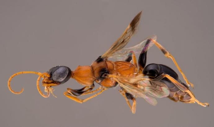 Wasp turns prey into zombies...thoughts?