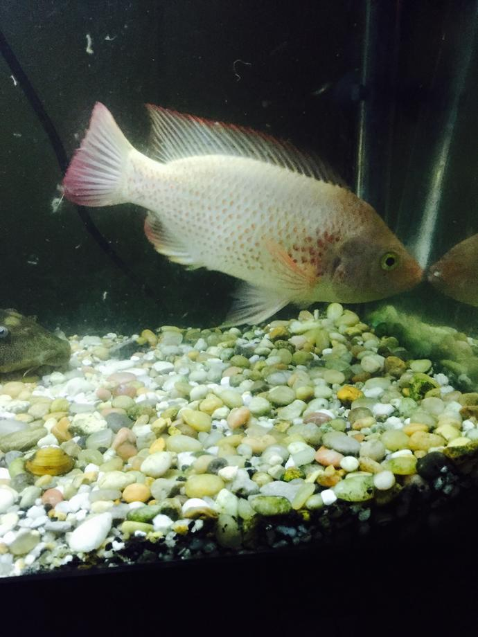 Anyone good with fish? Red devil or talapia?