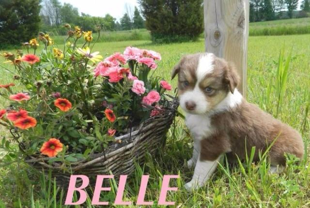 I'm getting this puppy its an Australian shepherd are they cute or what?