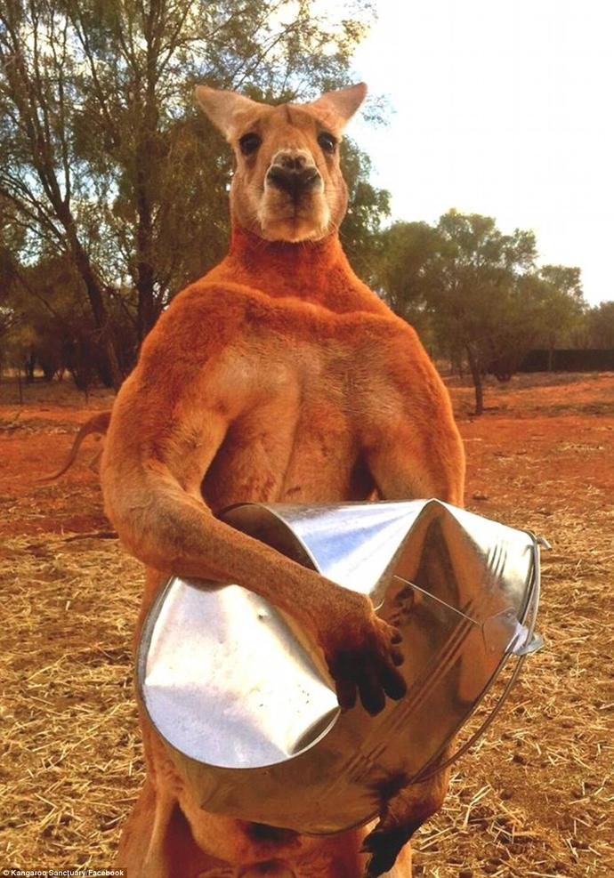 Did they give this kangaroo steroids?