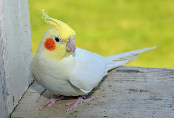 What does it meant to dream of a white with red cheek cockatiles bird and not begin able to tell which one belong to you?