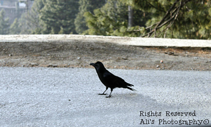 Have you seen black crows? I found em in mountains of KPK(Pakistan)  :D ?