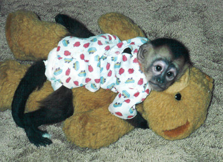 Would you get a monkey as a pet?
