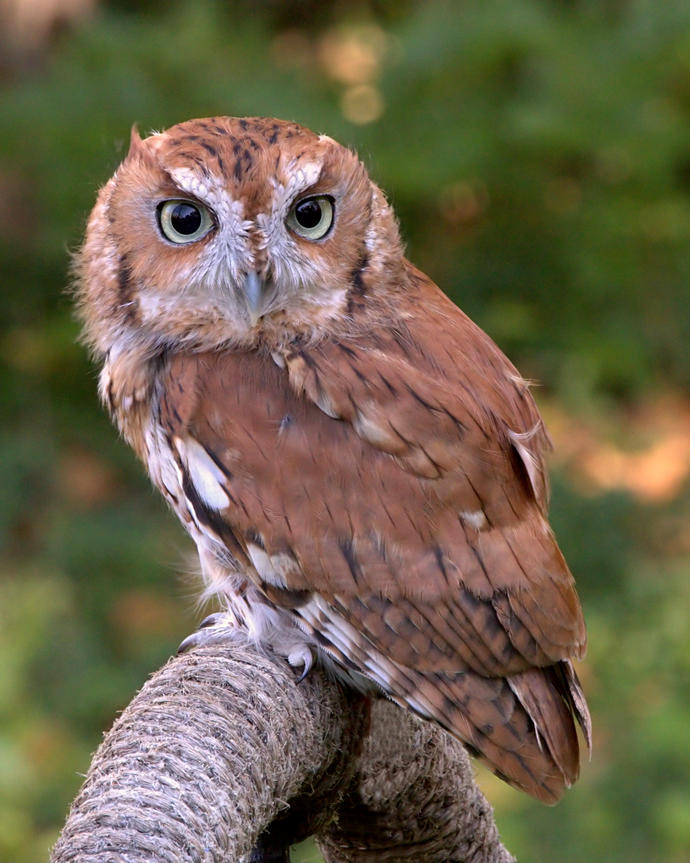 Any clue on what Owl this might be?