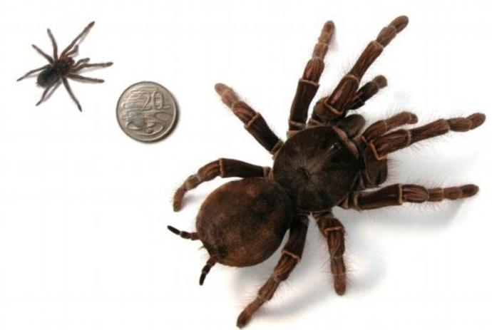 Would you consider Tarantulas/Blondis to be one of the gentle giants among spiders/arachnids?