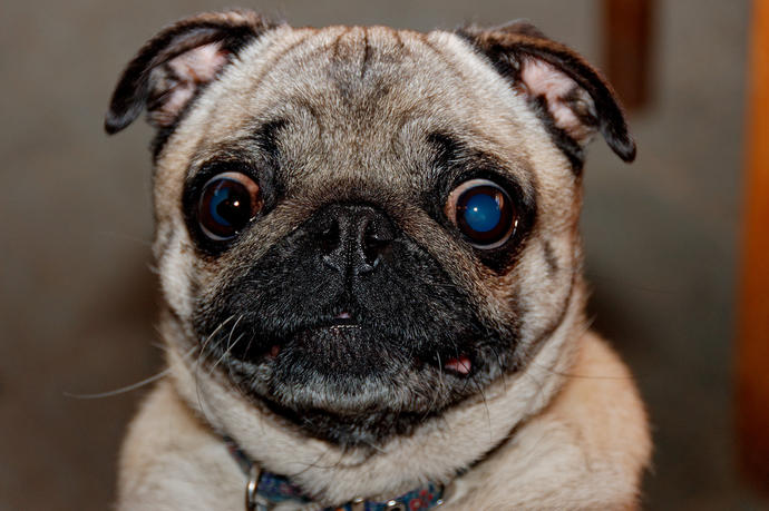 Are pugs cute or ugly?