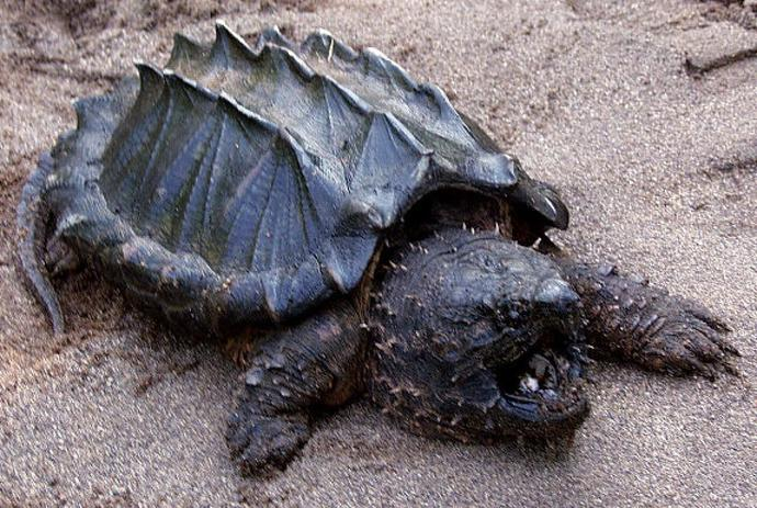Would you ever own an alligator-snapping turtle as a pet?
