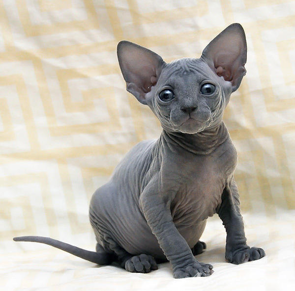 Do Hairless Cats Have Hair