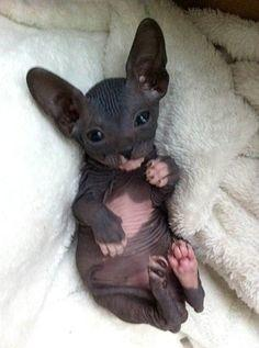 Do you think a Sphynx cat would be an ugly pet to have?