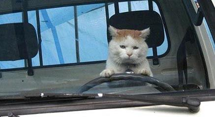 What would be your reaction to seeing a CAT driving a car?