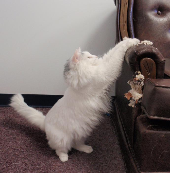 What would you do if you caught this CAT scratching your furniture?