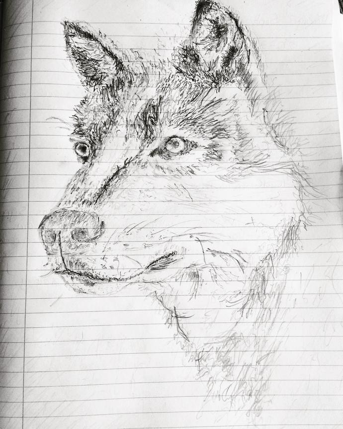 Wolf or domestic dog(husky)?
