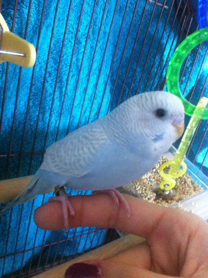 Is my 3 month old budgie a boy or a girl ?
