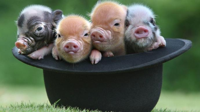 Your opinion on pigs?