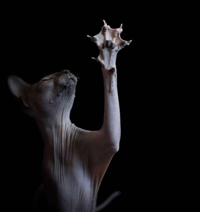 Sphynx cats, love them or hate them?