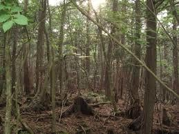Would it creep you out walking through Aokigahara (The Suicide Forest)?