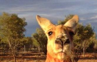 Do you (still) find this animal cute? Kangaroo??