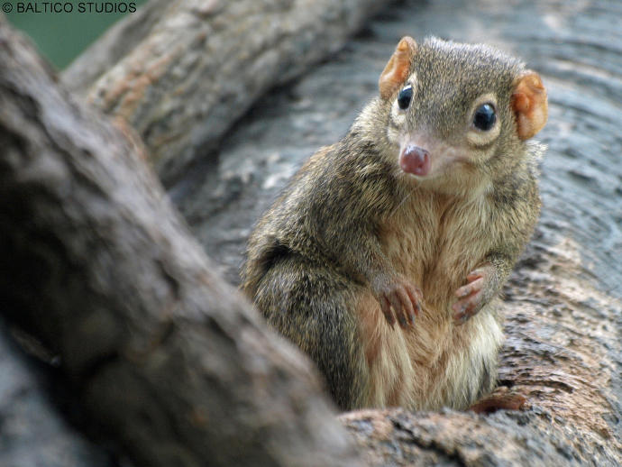 """Anyone else think that Scrat from """"Ice Age"""" looks like a tree shrew?"""