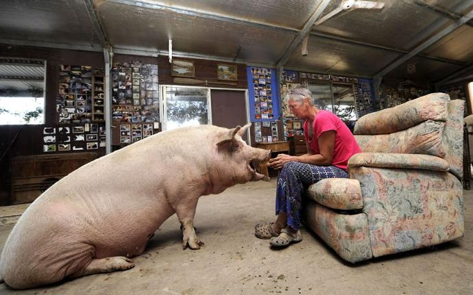 How would you react if you came home one day and found whoever you're living with has been transformed into pigs?