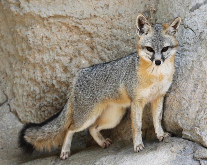 Does the grey fox (Urocyon cinereoargentus) look more like a wolf or a cat?