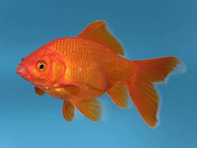 Why do we call goldfish