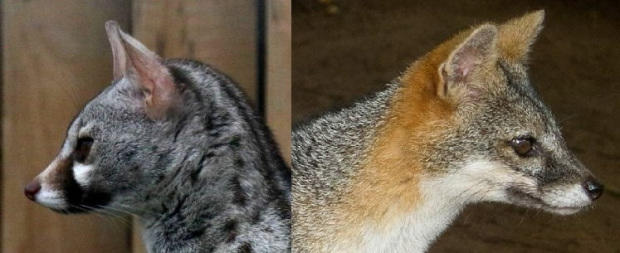 Does the common genet look more like the grey fox or the margay cat?